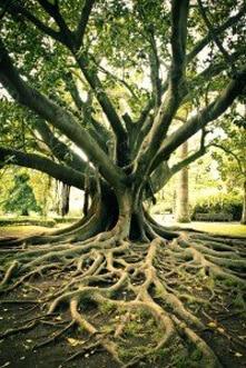 Iboga Tree